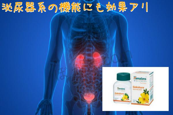ゴクシュラ泌尿器系
