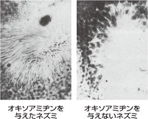 マウス精子