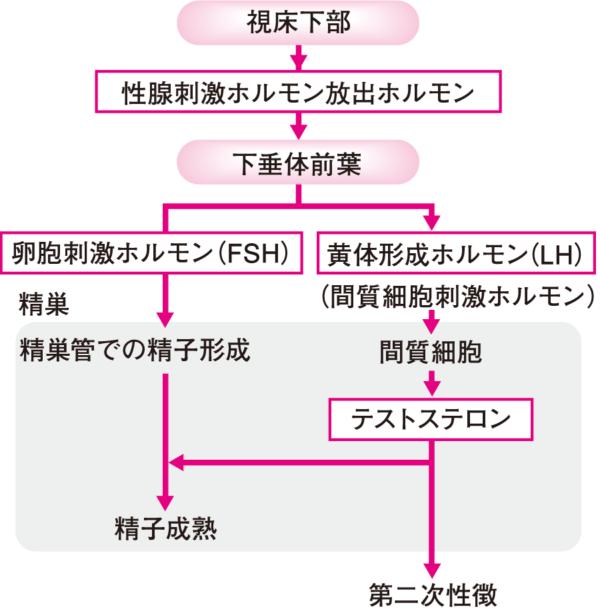 テストステロン作用機構